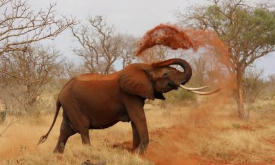 Elefante Costa Marfil