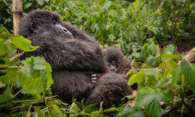 Gorila bebe Gabon