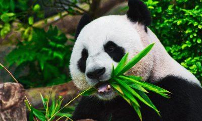 Oso panda china