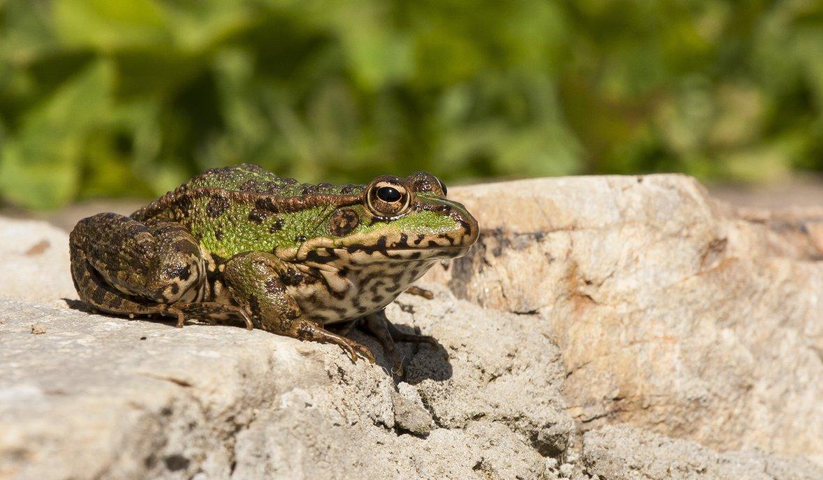 Nueva especie rana Ecuador