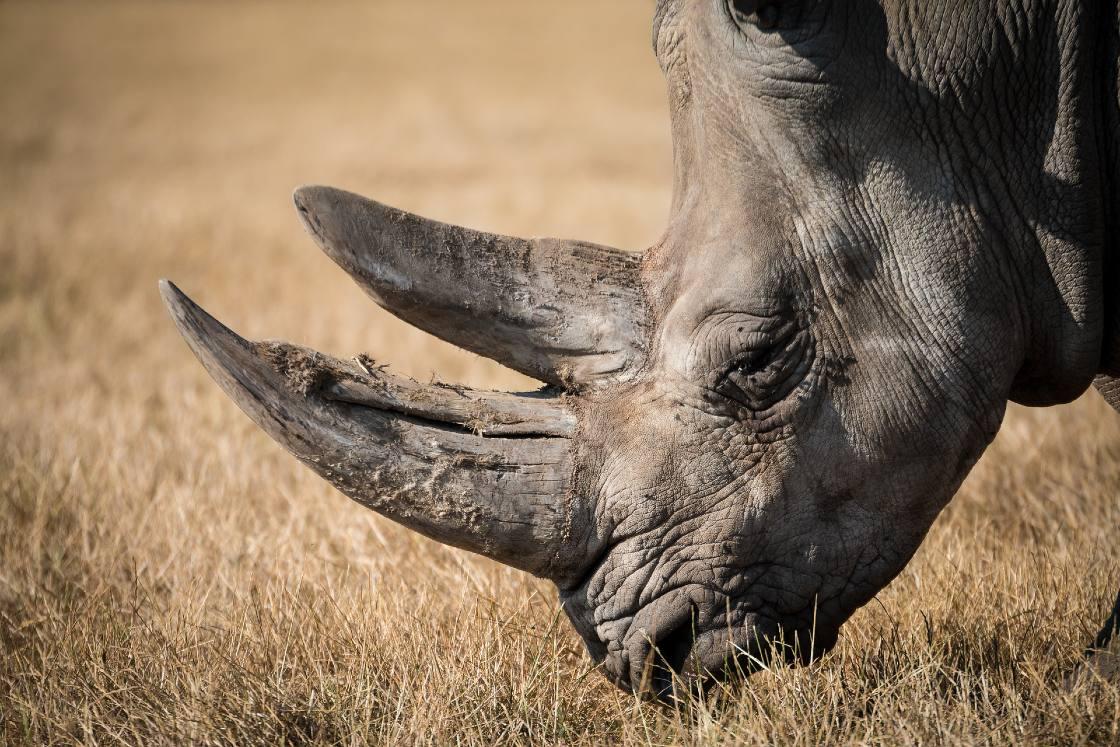 rinoceronte blanco embriones