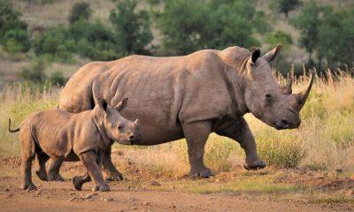 Rinocerontes aumento caza